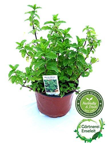 Image of Marokkanische Minze,Mentha Spicata v. Crispa,frische Minze Pflanze