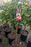 Tropic Pink Guava Tree--3 to 4 Feet Tall, Shipped in Soil Year Round