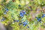 RP Seeds Juniperus Communis Common Juniper Seeds