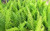 Fern Foxtail Asparagus Meyeri Bush Ground Cover 4 inch potted plant by Sandys Nursery Online