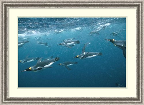 framed-art-print-king-penguin-group-swimming-underwater-macquarie-island-by-tui-de-roy