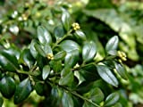 Common Box - Buxus Sempervirens - 1 Pkt of 25 seeds - Hedging