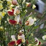 Cytisus Palette - 1 shrub