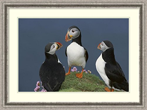framed-art-print-atlantic-puffin-group-courting-shetland-islands-scotland-by-tui-de-roy