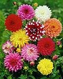 25 MIXED DAHLIA TUBER/BULBS MIXED VARIETIES GARDEN SUMMER FLOWERING EXCELLENT OFFER
