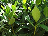 "9GreenBox – Sweet Bay Laurel Herb -Laurus Nobilis- 4"" Pot"