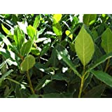 "9GreenBox - Bay Laurel Herb - 4"" Pot ~ 9GreenBox"