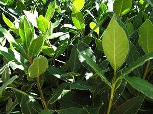 """9GreenBox - Bay Laurel Herb - 4"""" Pot"""