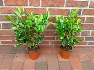 20 kirschlorbeer pflanzen h he 40 cm ab topf prunus. Black Bedroom Furniture Sets. Home Design Ideas