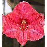 Amaryllis - Pink - Indoor - (2) TWO BULBS ~ It's An Amaryllis!