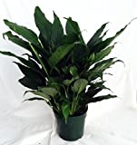 """Peace Lily Plant - Spathyphyllium - Great House Plant - 4"""" Pot unique from jmbamboo"""