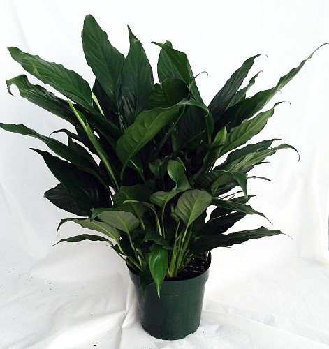 Peace lily plant spathyphyllium great house plant 4 pot unique from jmbamboo - Interesting house plants ...