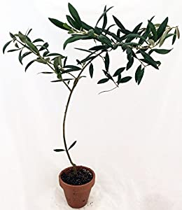 """Hirt's Large Olive Tree - Tree of Peace - Olea - 4"""" Clay Pot for Better Growth"""