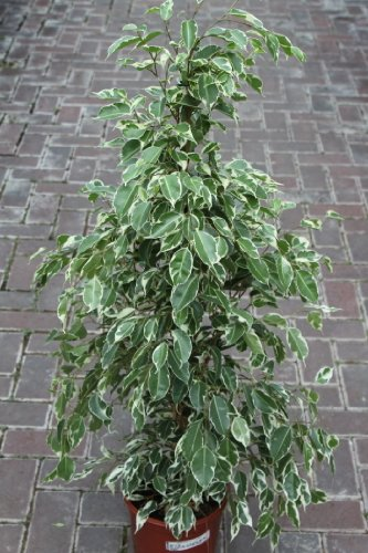 indoor-plant-house-or-office-plant-ficus-benjamina-variegata-variegated-weeping-fig-80cms-tall-now-r
