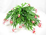 35cm Artificial Silk Christmas Cactus Plant - Flat-pack ~ Office Plant ~ Home & Kitchen Decoration