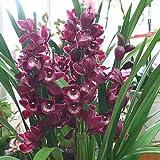 シンピジューム 鉢植え 赤紫色 お歳暮・お祝い・誕生日などのプゼント (4本立て)