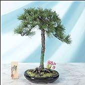 工芸盆栽 奇跡の一本松 「絆」