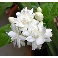 Arabian Tea Jasmine Plant - Belle of India - Sambac - 6