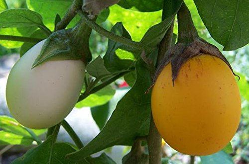 AMAZING Egg Tree 15 Seeds-Grow Indoors/Out-Edible Fruit