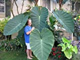 9GreenBox - Jack's Giant Colocasia - 4'' Pot