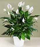Beautiful Peace Lily ideal for Valentines day free box of Chocolates