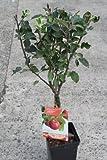 Dwarf Patio Fruit Tree- Apple- Variety Cox's Orange- Approx 1M Tall -