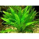 1 lose Pflanze Echinodorus amazonicus, Diskus