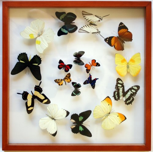 Real Framed Butterfly Art with Mounted Butterflies From Peru