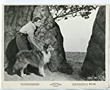 "Son of Lassie 8""x10"" Black and White Promo Still Peter Lawford Pal FN"