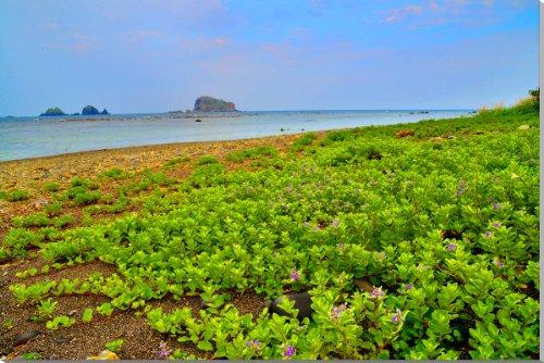 山形県唯一の離島である飛島。賽の河原付近ハマゴウ 写真パネル YMA-062-M25 (80.3×53cm)