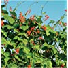 Flower Scarlet Runner Bean D1000 (Red Green) 25 Heirloom Seeds by David's Garden Seeds