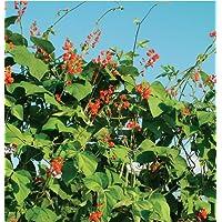Flower Scarlet Runner Bean D1000A (Red Green) 25 Heirloom Seeds by David's Garden Seeds