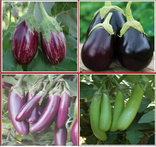 Phenomenal Seedstores Hybrid Brinjal Seed Club 4 Types For Terrace Top Largest Home Design Picture Inspirations Pitcheantrous