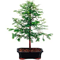 Brussel's Dawn Redwood Bonsai Tree