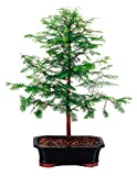 Brussel's Dawn Redwood Bonsai