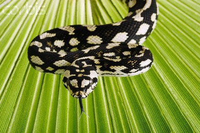 "Wallmonkeys Peel and Stick Wall Decals - Jungle Carpet Python - 24""W x 16""H Removable Graphic"
