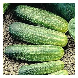 Miss Pickler Hybrid Pickling Cucumber Seeds 20 Seed Pack by OrganicSeedSupply