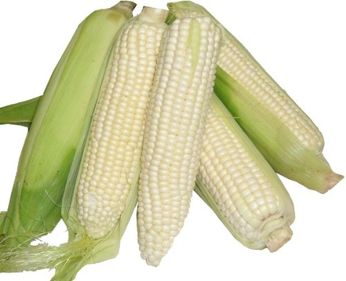 Corn Silver Princess, Now back in Stock, 50 Seeds, Early and exceptionally flavorful!