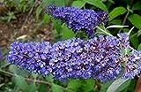 "Ellen's Blue Butterfly Bush - Buddleia - 4"" pot"