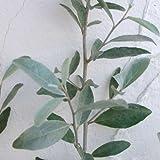 ロシアンオリーブ(ホソバグミ)6号ポット[オリーブに似た銀色の葉が美しい常緑樹 芳香花と果実も!]