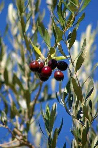 Olives - 24