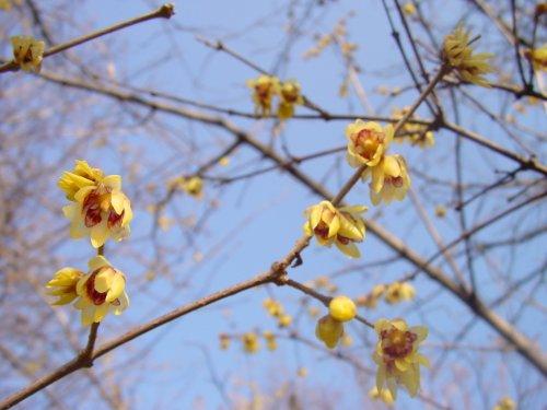 invierno-floracion-jardin-arbusto-planta-chimonanthus-praecox-chino-wintersweet-sweetly-aromatica-in