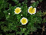 Limnanthes Douglasii, Poached Egg Plant, 1g approx 130 seeds