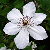 CLEMATIS WEDDING DAY-Wonderful Plant & Flower Gifts For Bride & Groom
