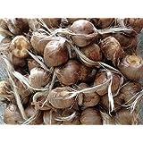 New 10 Bulbs ,Fall Blooming Jumbo SAFFRON CROCUS Sativus Non-Chinese, USDA inspected