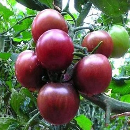 High Lycopene Tomatoes