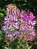 Premier Seeds Direct CLE01F 1.5 g Cleome Spider Plant Finest Seeds (Pack of 780)