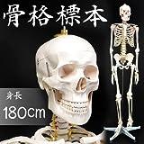 等身大 人体骨格模型 整骨院 接骨院