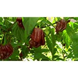 Trinidad 7 Pot Douglah-Chocolate 7 Pot 10+ Seeds