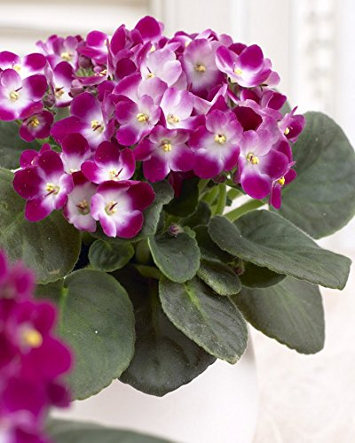large-saintpaulia-african-violet-plant-trendy-red-bicolour-in-white-display-pot